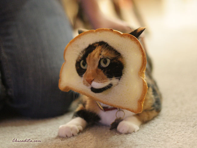 Mika the Inbread Cat
